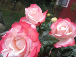 Roses by JDescole