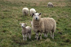 Mummy Sheep and Baby Sheep by WriteRelease