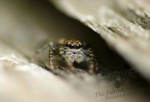 Young Marpissa Muscosa - female by TheFunnySpider