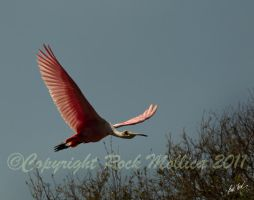 Rosette Spoonbill by SteelCowboy