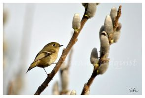Ruby Crowned Kinglet by AzureWindProductions