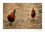 Cocks and men... by Michel-Lag-Chavarria