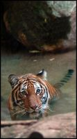 Sumatran Tiger by rgphoto777
