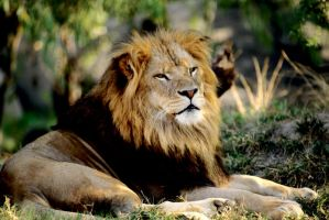 Lion 20 by Art-Photo