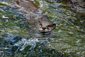 Asian Small-Clawed Otter 018 by The-Long-Shot