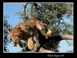 Lion Leaping by Helenr251