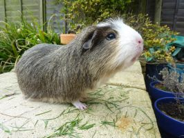 Spike the guinea pig by Toiger