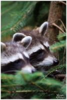 Racoons by W0LLE