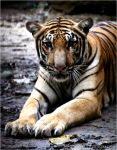 The tigress that charged by funkyphotographer