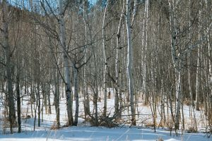 A Copse of Aspens by Shadow848327