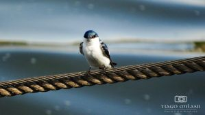 Swallow by Tiagomilani