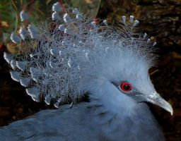 The Victoria Crowned Pigeon by Biljana1313