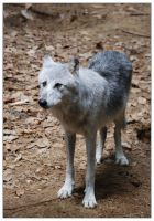 Canis lupus by indywolf
