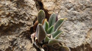 Byzantine Lamb's Ear Growing Out of a Rock by AnonymousRabbitLover
