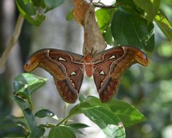 Atlas Moth 1 by jennystokes