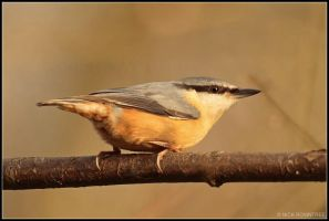 Nuthatch by nitsch