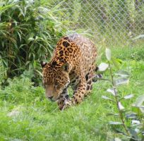Jaguar 5 by Tasastock