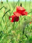 Coquelicot. by Art-triste