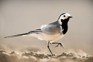 White Wagtail by sampok