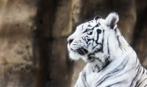 White Tigress I by OrangeRoom