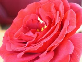 Rose red1 by GreenMusic