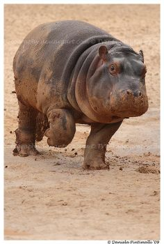 Baby Hippo on the Run by TVD-Photography