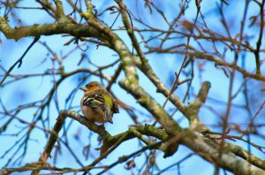 Common chaffinch by Brandzai
