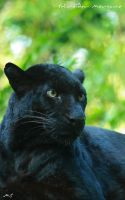 The black leopard by MorganeS-Photographe