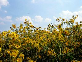 Field of Yellow Flowers 4 by FairieGoodMother