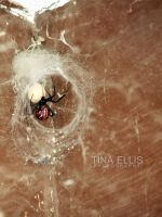 Western Black Widow/color by tinaalreadyinlove