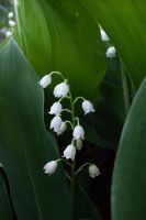 lily of the valley by hops-perfume