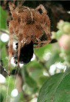 cross spider by kingdaughter