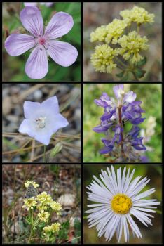 Yellowstone Flowers by Mistrie