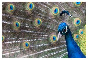 Peacock - 1459 by eight-eight