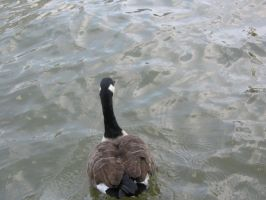 Canadian goose 03 by CotyStock
