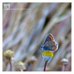 Brown Argus by Garelito-Photos