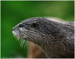 Captive Otter III by andy-j-s