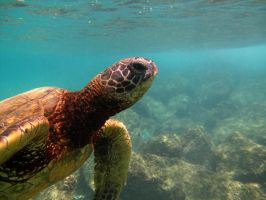 Kahe Turtle by X5-442