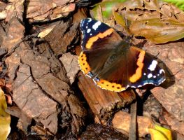 butterfly by Videtis