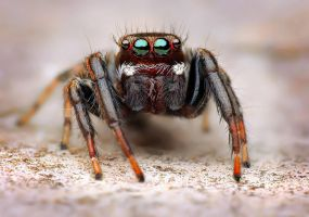 Jumping spider - Male Evarcha jucunda by Goshinsky