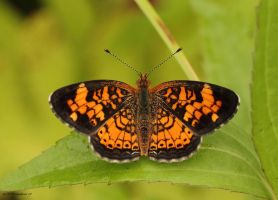 Pearl Crescent butterfly by natureguy