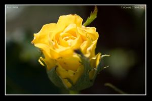 The Rose by tomba76