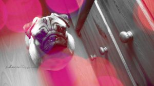 Ozzy The Pug by pinkmarta182