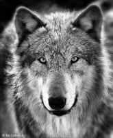 gray wolf bw by Yair-Leibovich