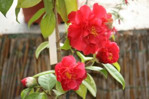 red camellia 2 by ingeline-art