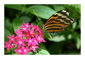 Exotic Butterfly from Callaway by microcosmos