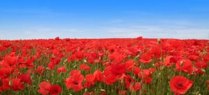A1 Poppy Field by TinSpider