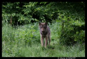 Young European wolf by Kiba67