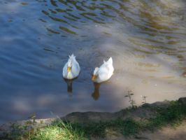 Two Ducks in the Lagoon by AnaTaffy