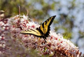 Swallowtail by DaisyDinkle